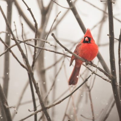 (Mostly) Wordless Wednesday: Cardinal in the Snow