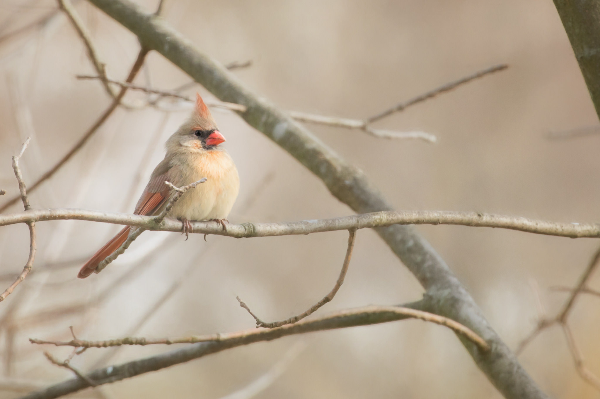 Famale Cardinal on tree branch