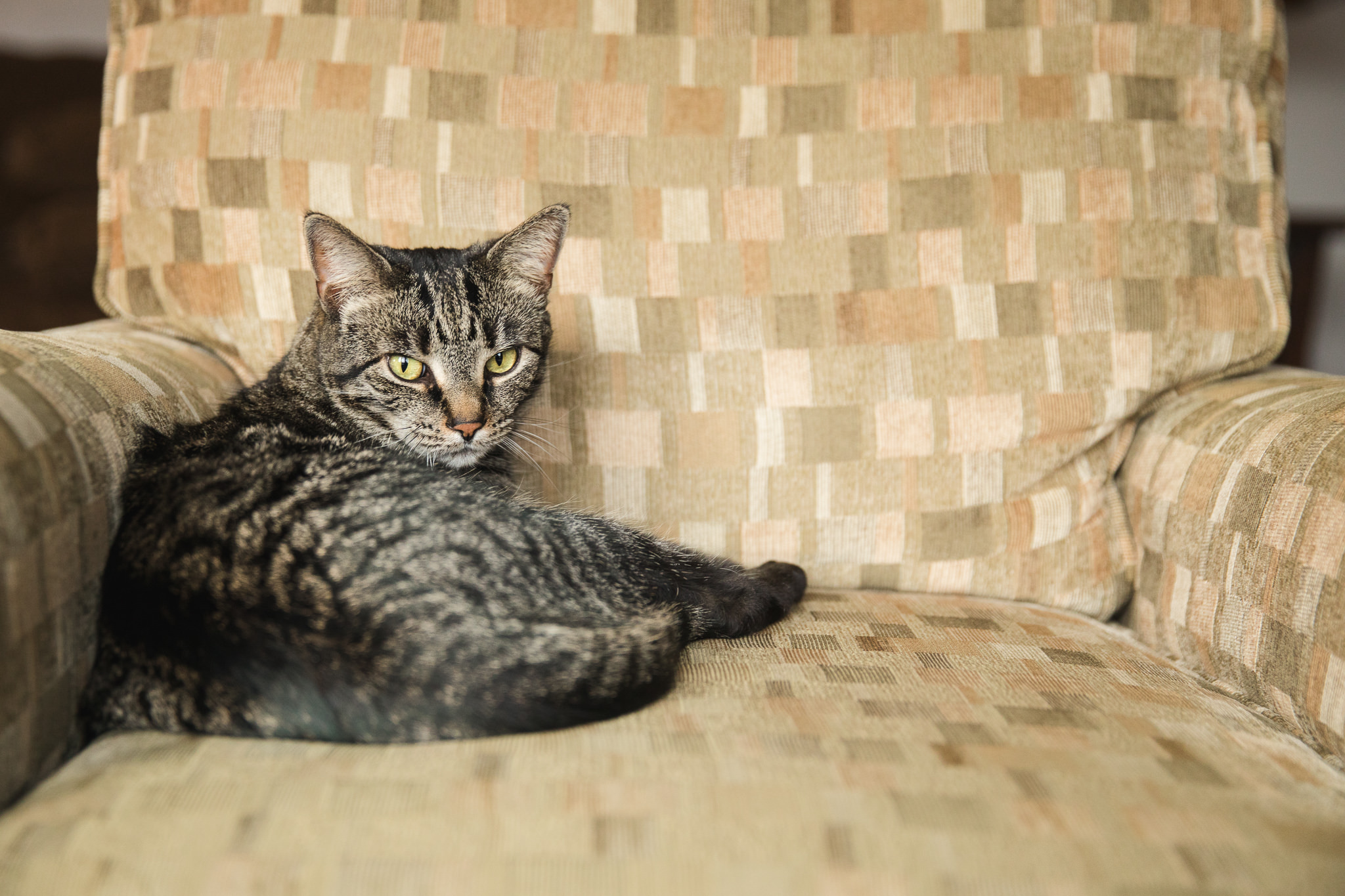 tabby cat lying on chair looking at camera