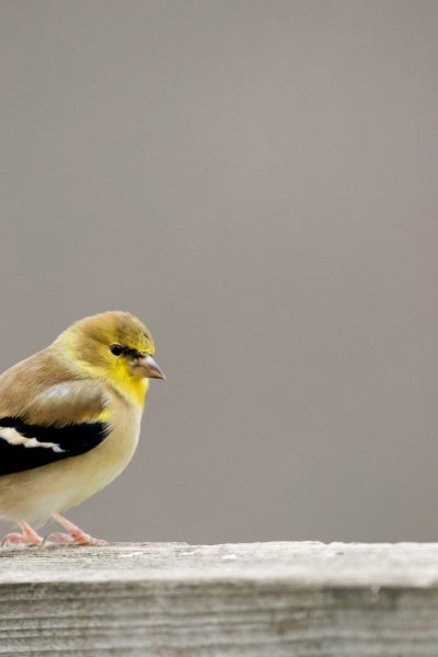 Wordless Wednesday: Goldfinch on a Dreary Day