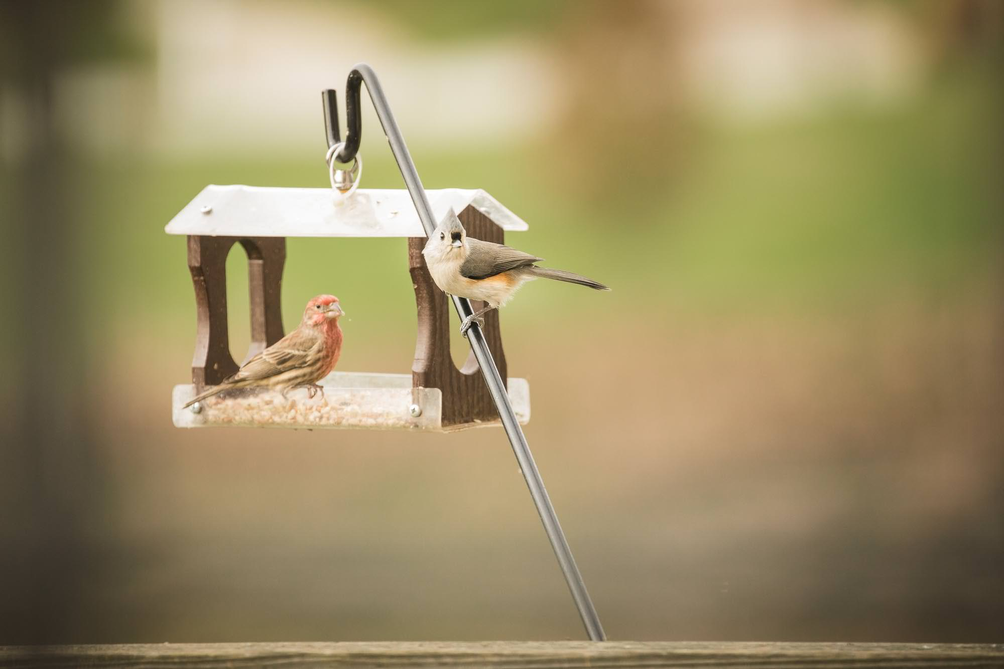 House finch and tufted titmouse at feeder