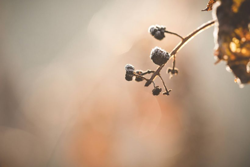 Frosted pokeberries